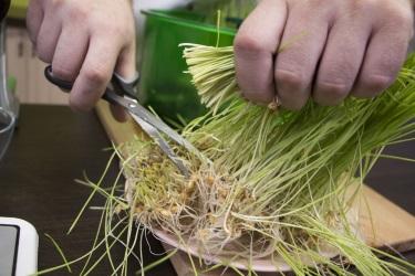 Сбор урожая из проращивателя Tribest Wheatgrass Grower Set SM-350