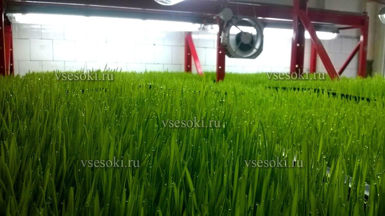 vitgrass-pshenica-proisvodstvo-vsesoki.jpg