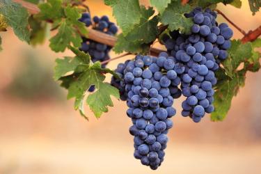 Польза винограда для организма человека