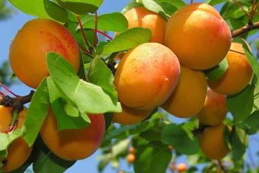 Польза свежего абрикоса