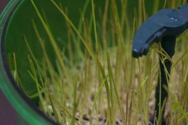 Проращивание витграсса в Tribest FreshLife-3000