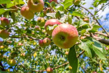 История яблочного спаса